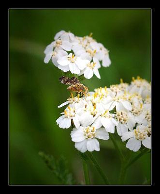 Hornfliege ( Tetanocera arrogans )