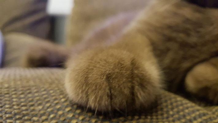 Pfote Katze