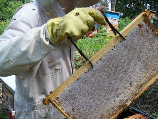 Panal operculado lleno de miel