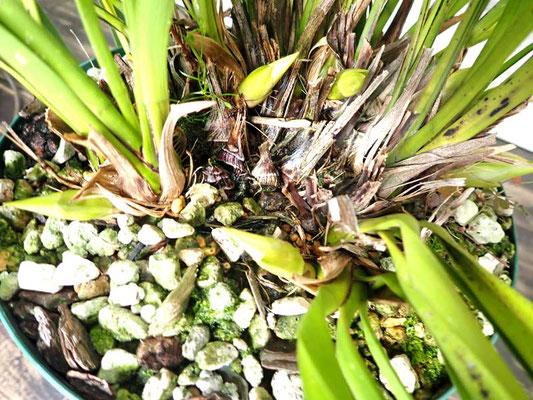 キンリョウヘンの花芽、白花