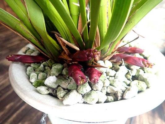 キンリョウヘンの花芽、赤花