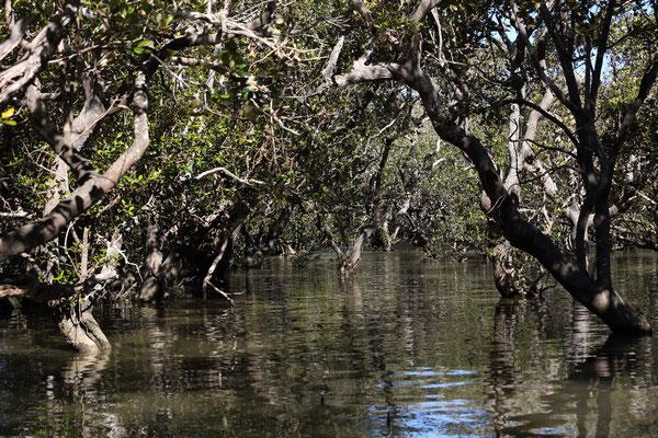 Mangroven bei Haruru