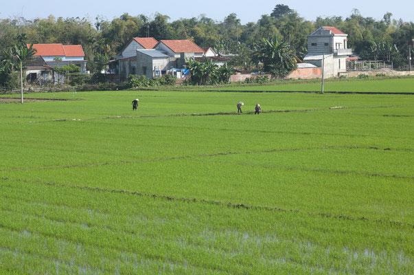 Arbeiter im Reisfeld