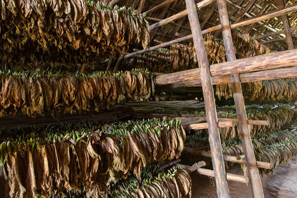 Tabak aufgehängt zum trocknen