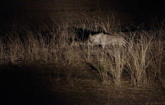 Nachts auf Safari