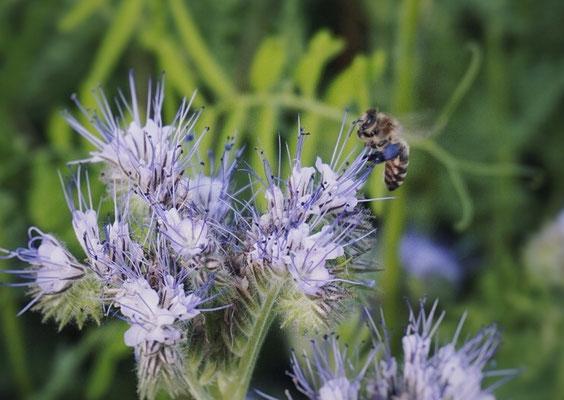 Eine Biene mit violettem Pollen