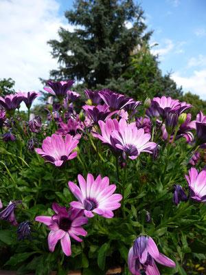 Gartengestaltung Hannover mit einjährigen Blumen: hier Kapveilchen, GreenFairway e.K.