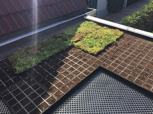 Dachbegrünung - gebrauchsfertige Sedum Arten von GreenFairway e.K.