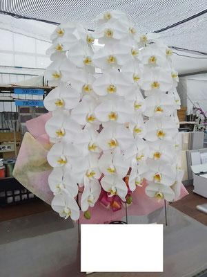 大輪胡蝶蘭 白3本立ち御祝い プレミアム