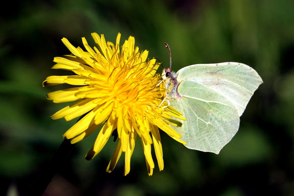 Lothar von Alm: Schmetterling