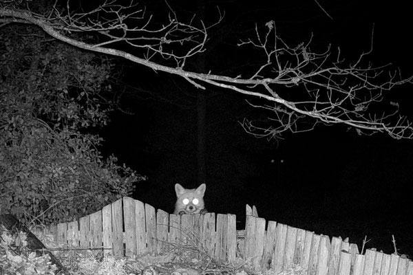 Wolfgang Steinborn: Nachtbesuch - Fuchs