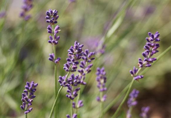 "Ulrike Gose "" Lavendel"""
