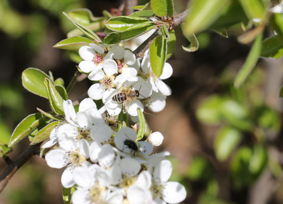 """Biene auf Apfelblüte"" Ulrike Gose"