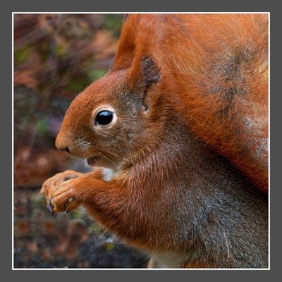 Wolfgang Steinborn: Eichhörnchen