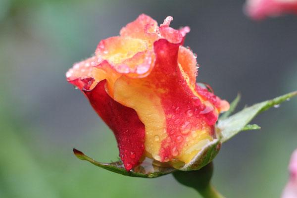 "Ulrike Gose ""Rose"""
