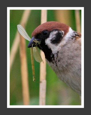 Wolfgang Steinborn: Feldsperling - Passer montanus, Tree Sparrow