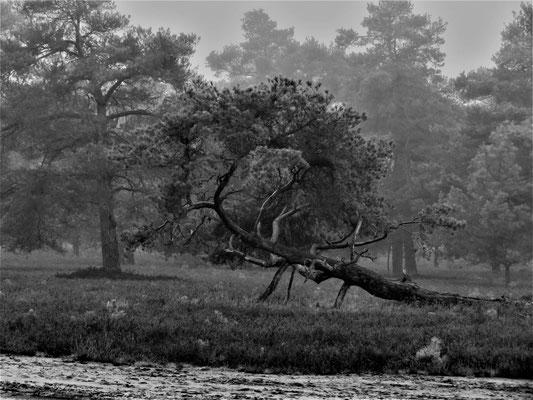 Ulrike Gose: Baum in der Osterheide