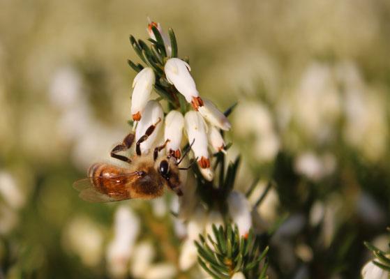 """""""Biene in der Heide"""" Helmut Gose"""