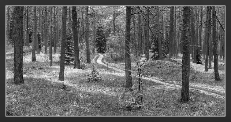 Wolfgang Steinborn: Kiefernwald im Aprilschnee
