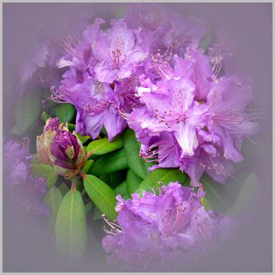 Lothar von Alm: Rhododendronblüten
