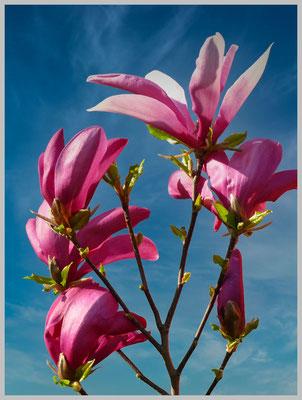 Lothar von Alm: Magnolienblüten im Wind