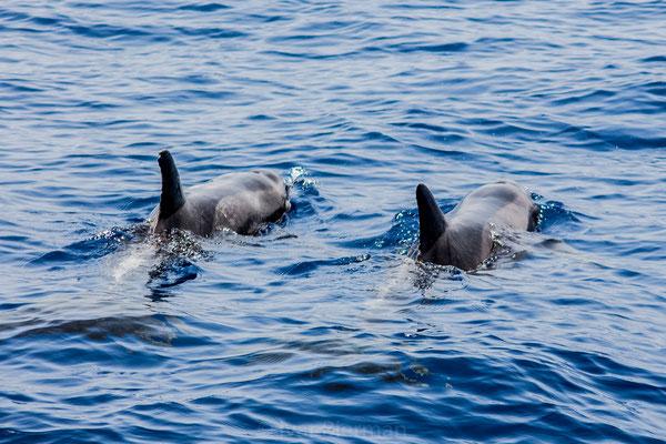 Dolfijnen bij Gran Canaria