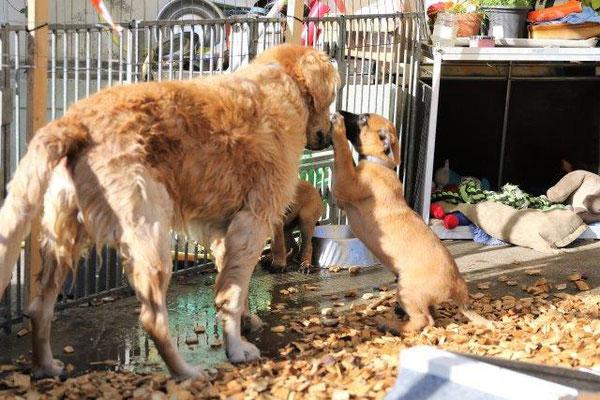 Lorcan findet den grossen Goldi wunderbar