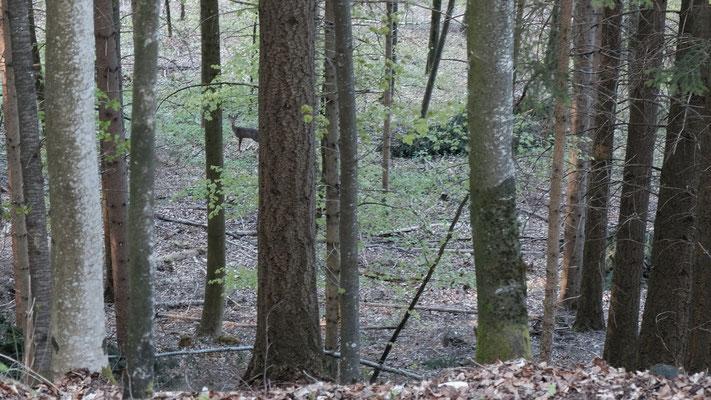 Ein Rehlein steht im Walde