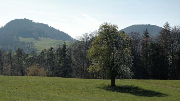 Schöner, halseitig blühender Birnbaum