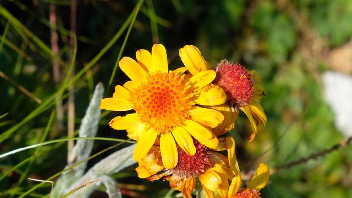 Einige Blumen von den beiden besuchten Berggipfeln