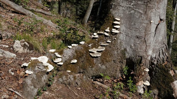 Mit vollem Magen steige ich steil hoch Richtung Binzeberg. Schöne Pilze entschädigen für die Mühen.