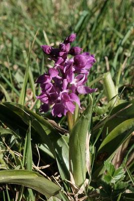 Ein frühe Orchidee