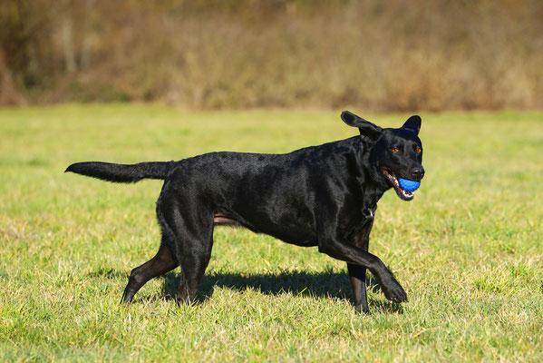 Labrador Shooting