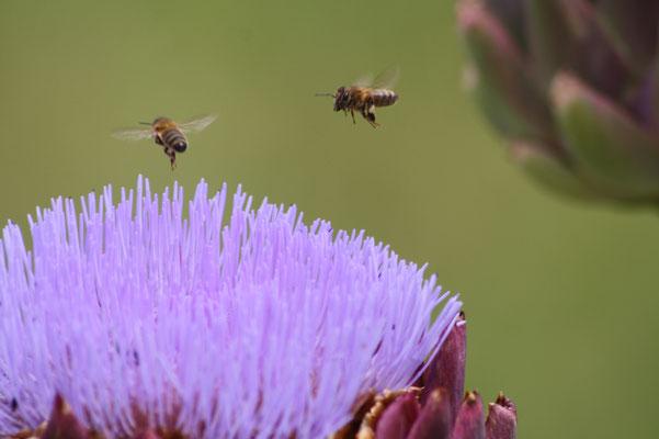 abeilles sur artichaud
