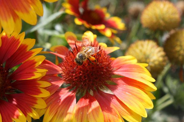 abeille et sa réserve de pollen