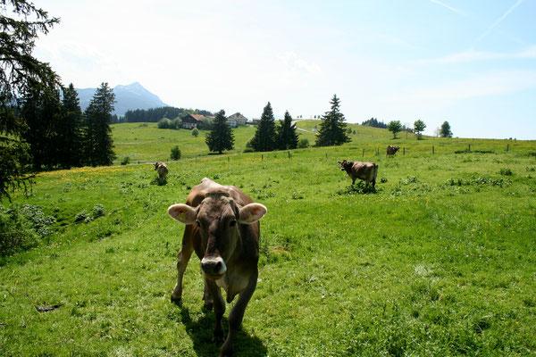 Kühe auf der Weide direkt neben uns
