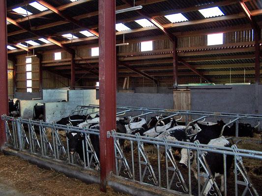 Stabulation de notre troupeau à la ferme