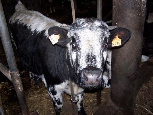 Une vache vosgienne à la ferme des alisiers