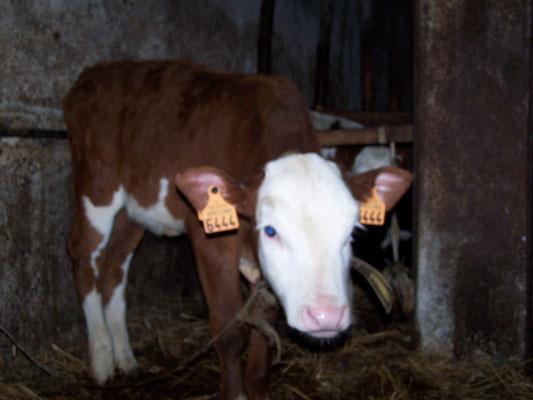 Les vaches de la Ferme des Alisiers