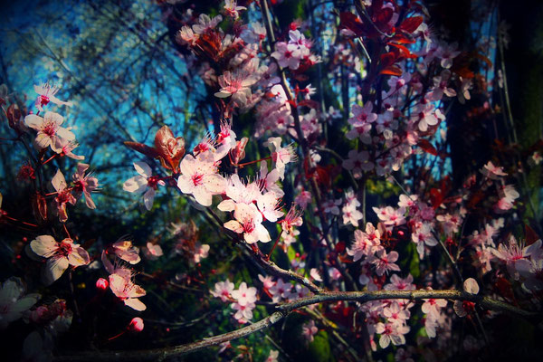 Crush, plum tree flowers