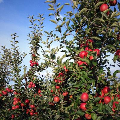 Appel tree
