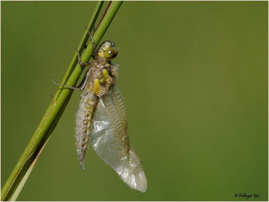 Libellenschlupf Vierfleck 24.05.2015