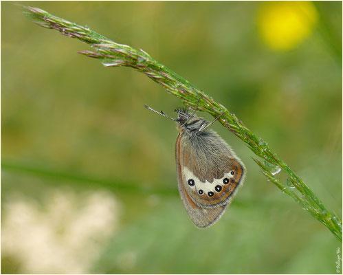 Moosalp-Jungen Alpen-Wiesenvögelchen