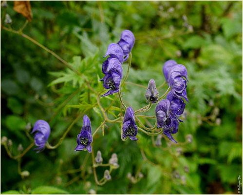 Pflanzen Susten-Illhorn 10.08.2014