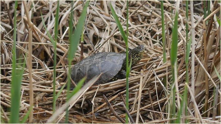Wasserschildkröte Pfynwald 17.04.2016