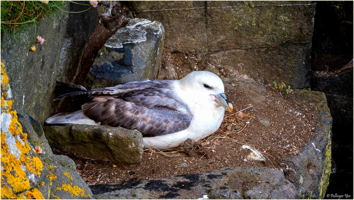 Küstenvogel Fulmar Schottland 2016