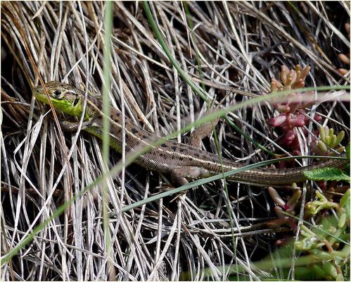 Smaragdeidechse Weibchen 13.06.2015