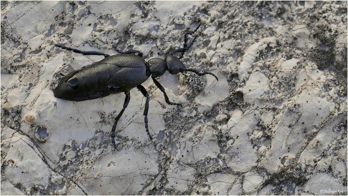 Ölkäfer (Insecta: Coleoptera: Meloidae), wie zum Beispiel Meloe cicatricosus, scheiden bei Beunruhigung gelbe Tropfen ihrer Hämolymphe aus, die das giftige Alkaloid Cantharidin enthält. Daher sollte man sich nach Berührung eines Ölkäfers gut die Hände was