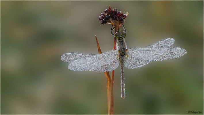 Libelle im Morgentau 18.08.2016