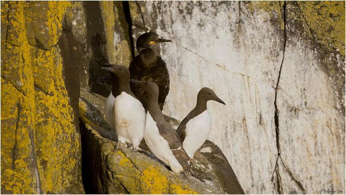 Küstenvögel Schottlands Trottellummen mit Kormoran auf der Insle Of Skye